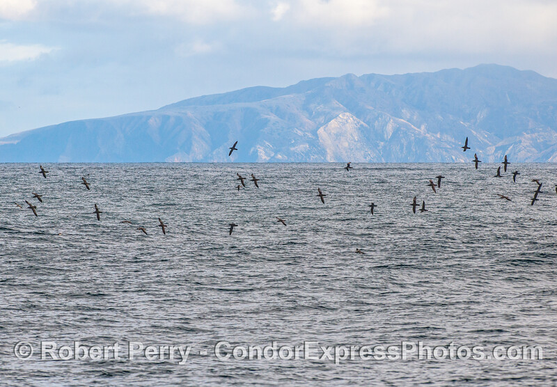 Black-vented shearwaters arching high over the swells and catch the breeze.