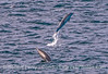 Leaping short-beaked common dolphins.