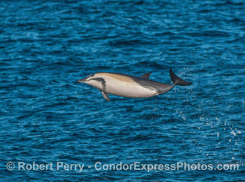Short-beaked common dolphins scores high with this arched leap!