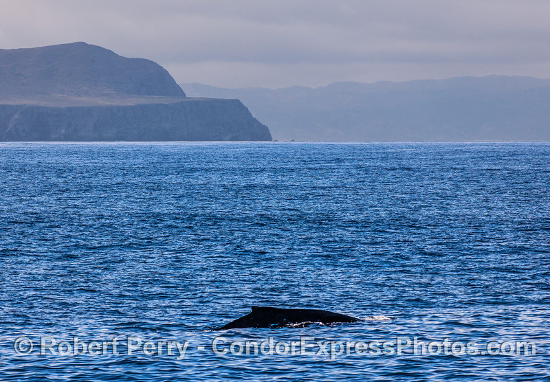 The friendly and regular local Humpback whale, Stinky, with Santa Cruz and Santa Rosa Islands in back.