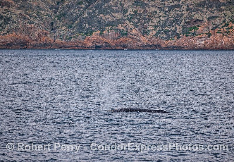 Gray whale, near Santa Cruz Island