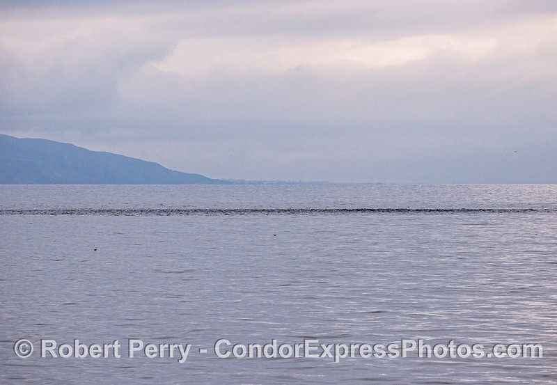 Long-beaked common dolphins - Ventura coast in background