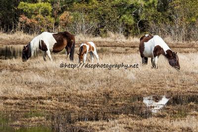 3 generations.  Mom, Baby & Grandma.  Tunie, Tunie's 2016 Foal and Seaside.