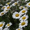 KenHodina_Wk27_Flowers-Daisies1