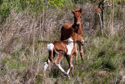 Carol's Little  Freedom's and Wild Island Orchid's 2016 Foals