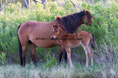 Foal #22 of 2016 Dakota Sky's Cody 2 Socks 2016 Foal Probable Sire:  Wild Thing Bay Colt Northern Herd First seen 5/12/16