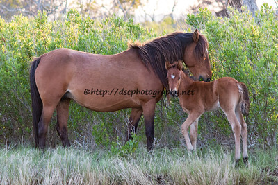 Dakota Sky's Cody 2 Socks & 2016 Foal