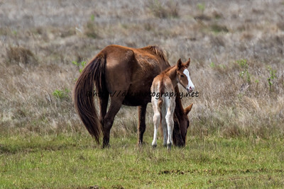 Foal #9 of 2016 Elusive Star's 2016 Foal Probable Sire:  Riptide Chestnut with Blaze Colt Southern Herd First Seen 4/23/16