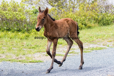 Georgia Peach's 2016 Foal Probable Sire:  Wild Bill Bay Colt Northern Herd First seen  5/14/16