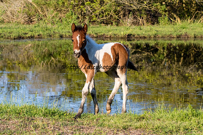 Foal #19 of 2016 Grandma's Dream's 2016 Foal Probable Sire:  Riptide Bay Tobiano Pinto Filly Southern Herd First seen 5/6/16