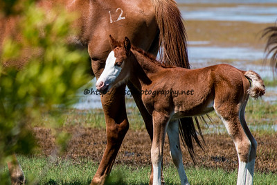 Foal #55 of 2016 Kimmee-Sue's 2016 Foal Probable Sire:  Courtney's Boy  Chestnut with bald face Filly Northern Herd First seen 6/4/16