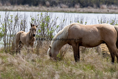 Lady's 2016 Foal Presumed sire:  Chief Buckskin with star Colt Northern Herd First seen 4/8/16
