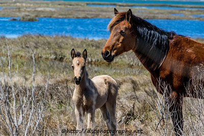 Foal #3 of 2016 Lady's 2016 Foal Presumed sire:  Chief Buckskin with star Colt Northern Herd First seen 4/8/16