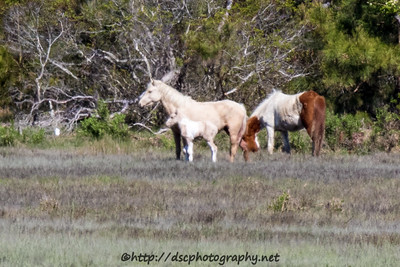 Foal #28 of 2016 Mayli's 2016 Foal Probable Sire:  Sockett To Me Palomino Pinto Filly Southern Herd First seen 5/15/16