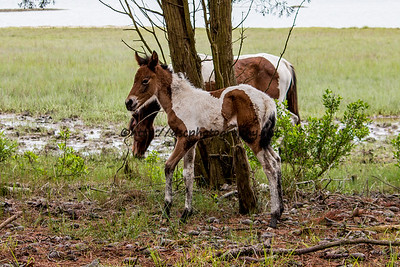 Foal #27 of 2016 Skylark's 2016 Foal Probable Sire:  Legacy Bay Pinto Filly Northern Herd First seen 5/15/16