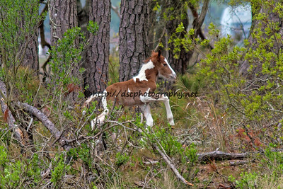 Foal #18 of 2016 Starry Night's 2016 Foal Probable Sire:  Riptide Chestnut Pinto Colt Southern Herd First Seen 5/5/16