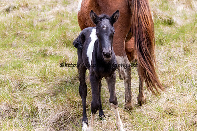 Foal #16 of 2016 Water Baby/Tiger Lily's 2016 Foal Probable sire:   Ace  Black Pinto Filly Northern Herd  First Seen 5/2/16