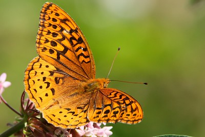 Great Spangles Fritillary
