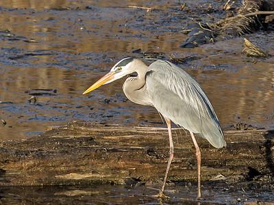 01,DA029,DN,Blue Heron stalking dinner
