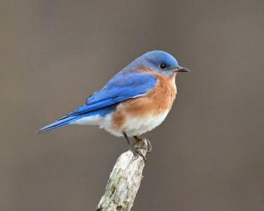 DA054,DN,Bluebird