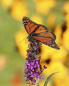 DA022,DN monarch_pollination