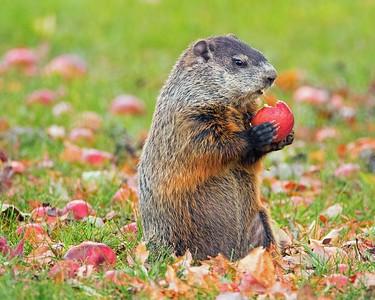 DA054,DN,How many Apples can a Woodchuck Chuck