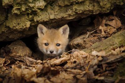 DA099,DN,Red_Fox_Pup