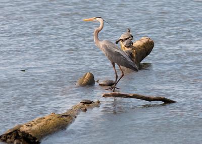 DA029,DN,blue heron and turtles