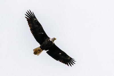 DA094,DN,Soaring Eagle