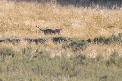 Coyote, juvenile