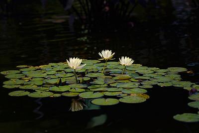 Lillies #1