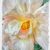 8-20-16 Macro Rose