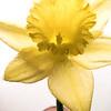 Daffodil in Purple Vase