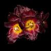 Macro Red Tulips