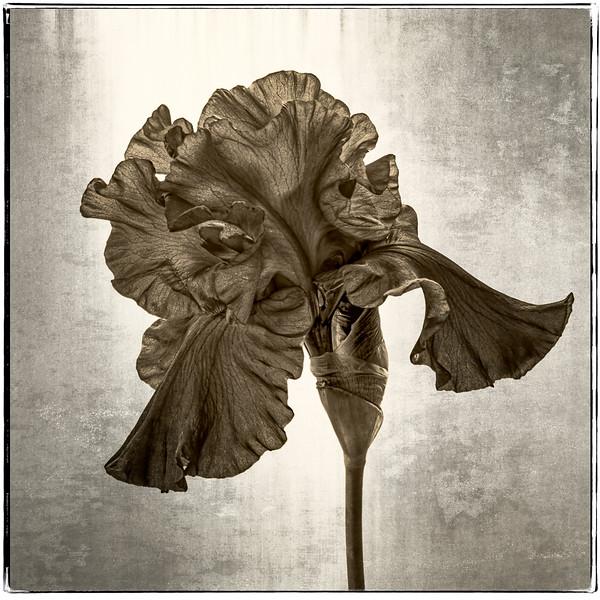 04-30-16 Single Purple Iris (Sepia)