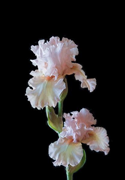 04-25-16 Pink Iris