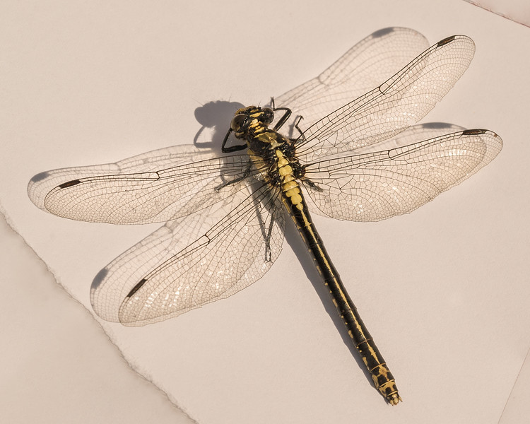 6-11-16 Dragonfly