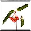 08-30-16 Seeds - Red Elderberry