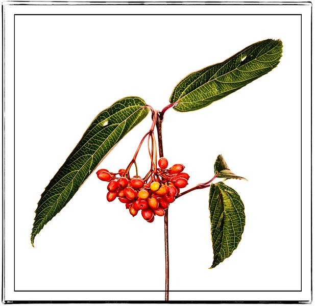 08-30-16 Seeds - Red Elderberry