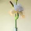 05-08-16 Yellow Iris