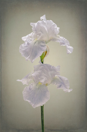 White Iris Backli