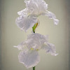 White Iris Backli