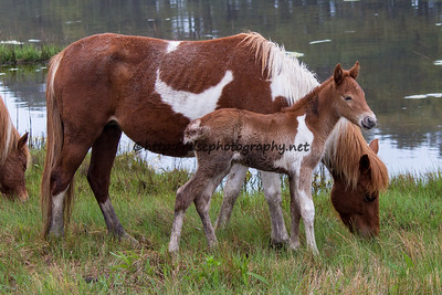 Foal #17 of 2016 Catwalk Chaos's 2016 Foal Probable sire:  Ajax Minimal Chestnut Pinto Filly Northern Herd First Seen 5/2/16