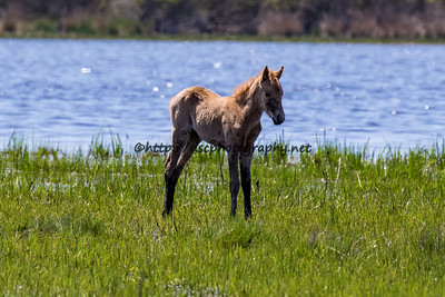 Taco's 2016 Foal Probable Sire:  Chief Palomino Filly Northern Herd  First seen 5/14/16