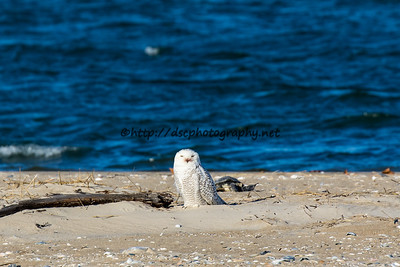 Snowy Owl & A Sea Turtle