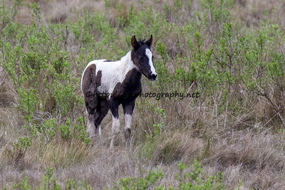 Foal #12 of 2016 Leah's Bayside Angel's 2016 Foal Probable Sire:  Sockett To Me Black Pinto  Southern Herd First Seen 4/26/16