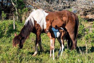 Foal #40 of 2016 White Saddle's 2016 Foal Probable Sire:  Sockett To Me Chestnut Pinto Filly Northern Herd First seen 5/24/16 by Kris Barnes & Syd  Tytler