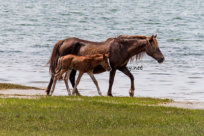 Foal #39 of 2016 Unforgettable/Diamond's 2016 Foal Probable Sire:  Puzzle Chestnut with blaze Filly Northern Herd First seen 5/24/16 by Kathleen Cahall and Jerry Barnes