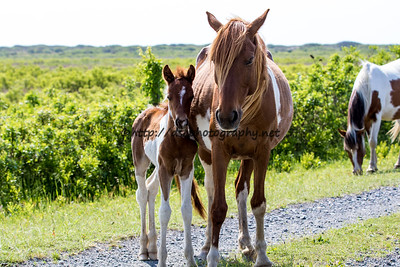 Foal #23 of 2016 Sweet Jane/Duckie's 2016 Foal Probable Sire:  Puzzle Chestnut Pinto Filly Northern Herd First seen 5/13/16