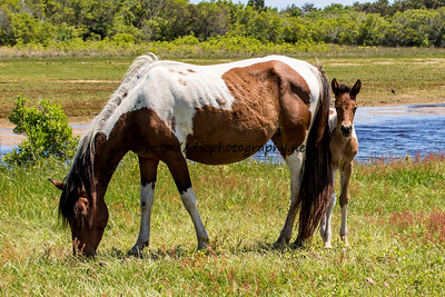 Foal #27 of 2016 Skylark's 2016 Foal Probable Sire:  Legacy Bay Pinto Filly Northern Herd First seen 5/15/16 by Kathleen Cahall